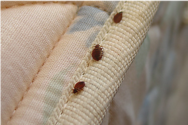 Bed Bug Control Removal Services Singapore Bed Bug Removal Singapore